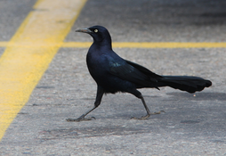Predator Impact can remove Blackbirds and Grackles from public and private areas, such as parking lots and residences.