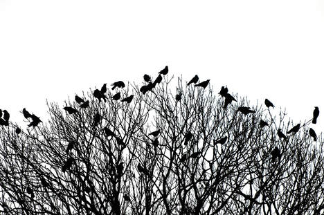 a flock of blackbirds roosting in a tree